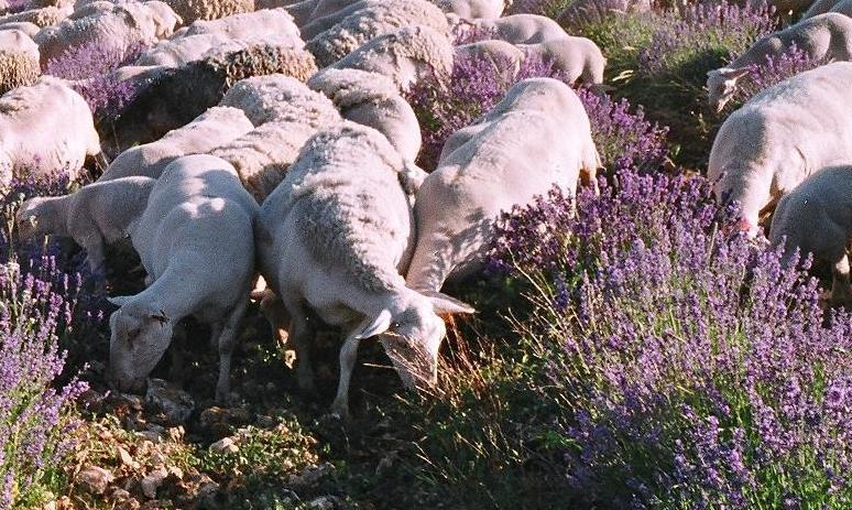 Nos moutons désherbent